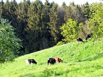 Our cows on pasture